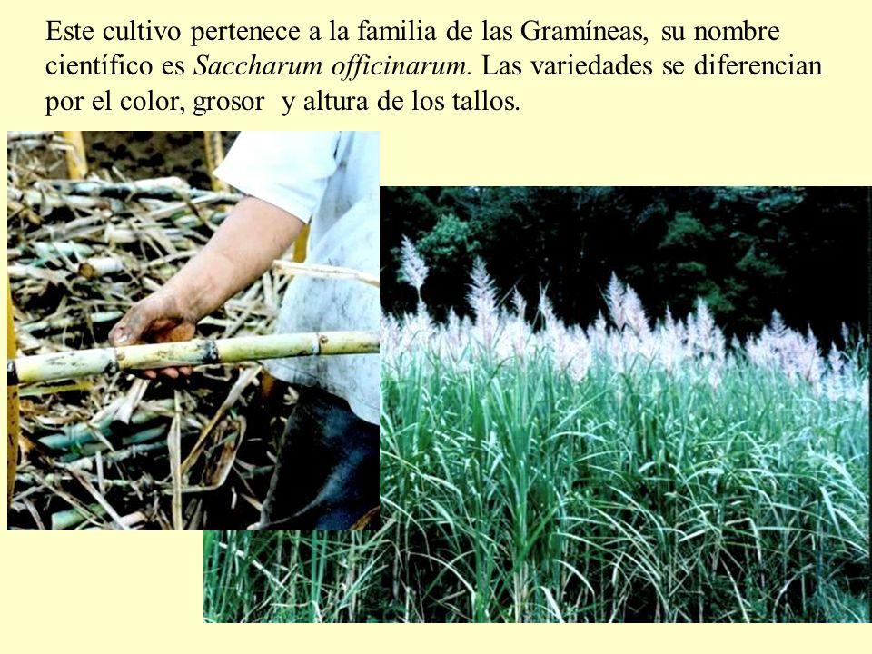 Este cultivo pertenece a la familia de las Gramíneas, su nombre científico es Saccharum officinarum.