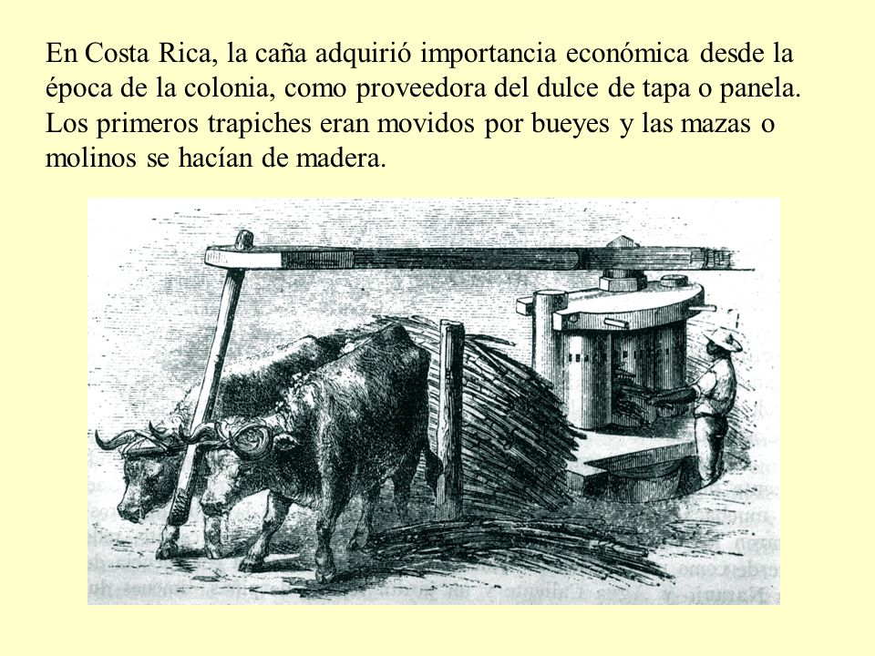 En Costa Rica, la caña adquirió importancia económica desde la época de la colonia, como proveedora del dulce de tapa o panela.