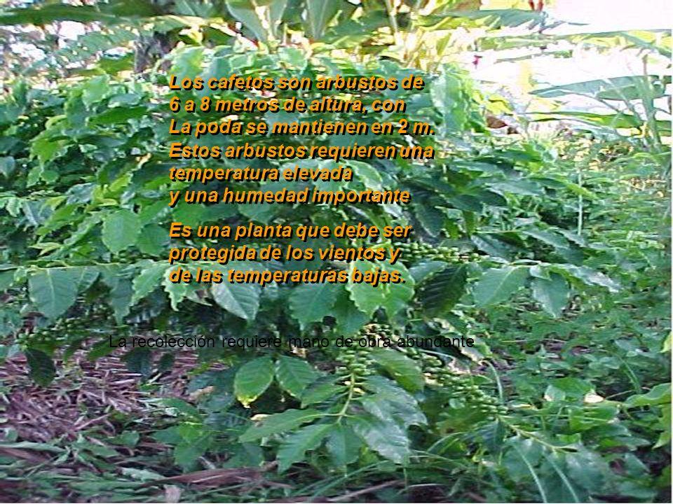 Los cafetos son arbustos de 6 a 8 metros de altura, con