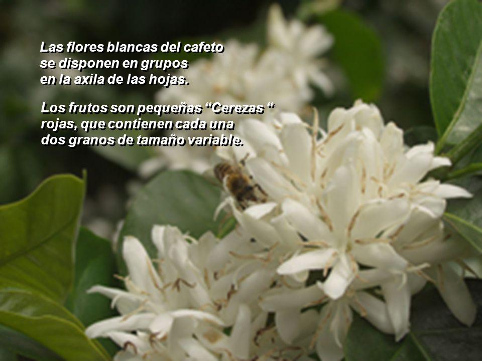 Las flores blancas del cafeto