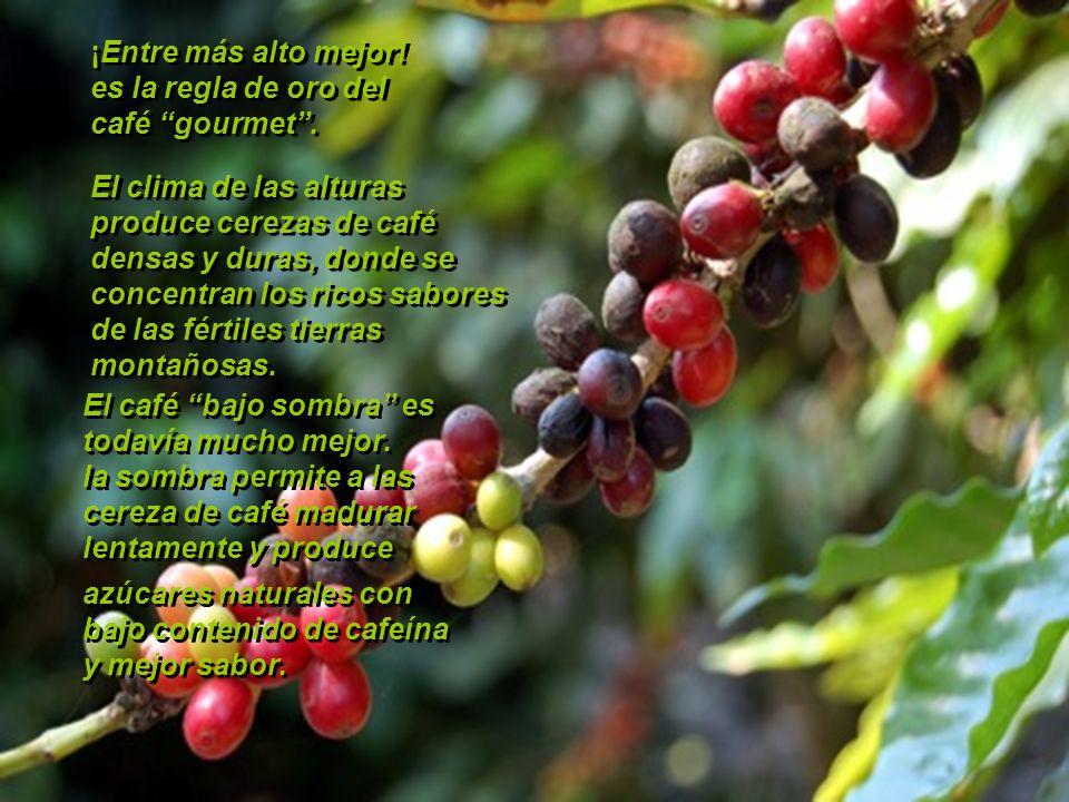 ¡Entre más alto mejor!es la regla de oro del. café gourmet . El clima de las alturas. produce cerezas de café.