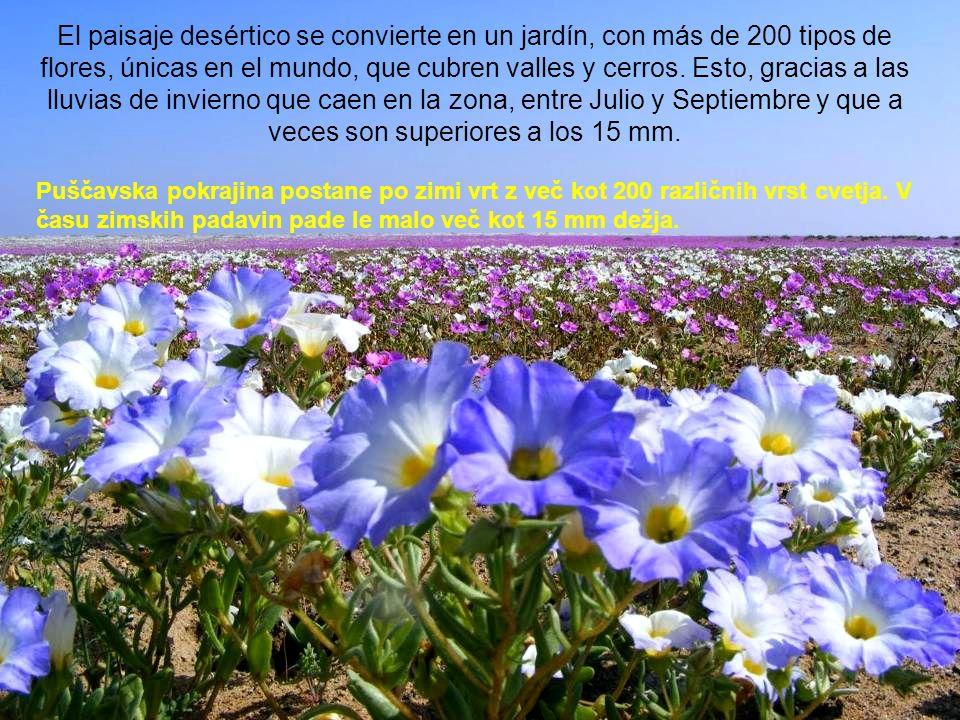 El paisaje desértico se convierte en un jardín, con más de 200 tipos de flores, únicas en el mundo, que cubren valles y cerros. Esto, gracias a las lluvias de invierno que caen en la zona, entre Julio y Septiembre y que a veces son superiores a los 15 mm.