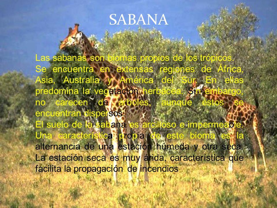 SABANA Las sabanas son biomas propios de los trópicos.