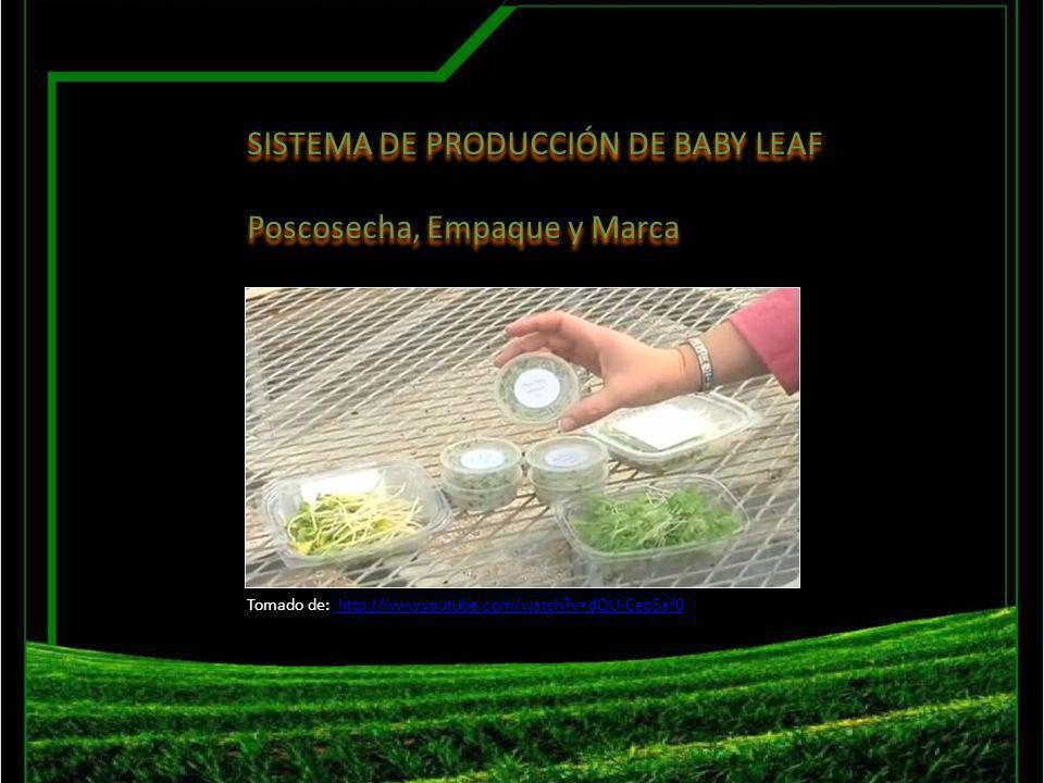 SISTEMA DE PRODUCCIÓN DE BABY LEAF Poscosecha, Empaque y Marca