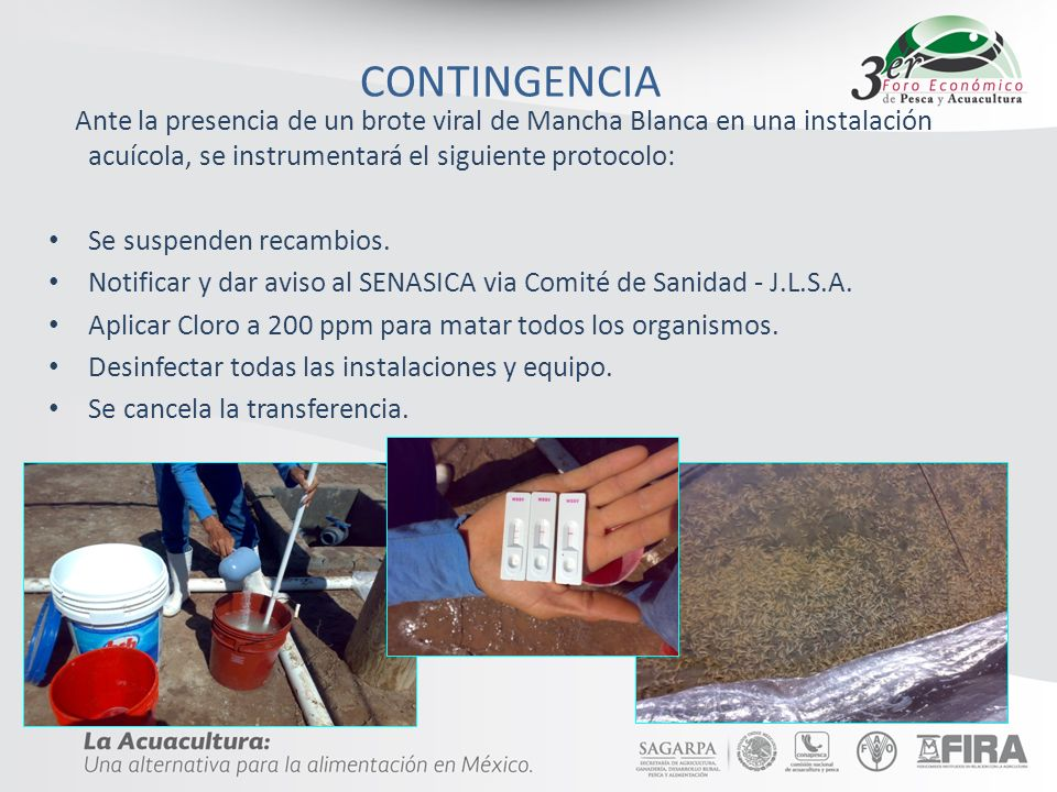 CONTINGENCIAAnte la presencia de un brote viral de Mancha Blanca en una instalación acuícola, se instrumentará el siguiente protocolo: