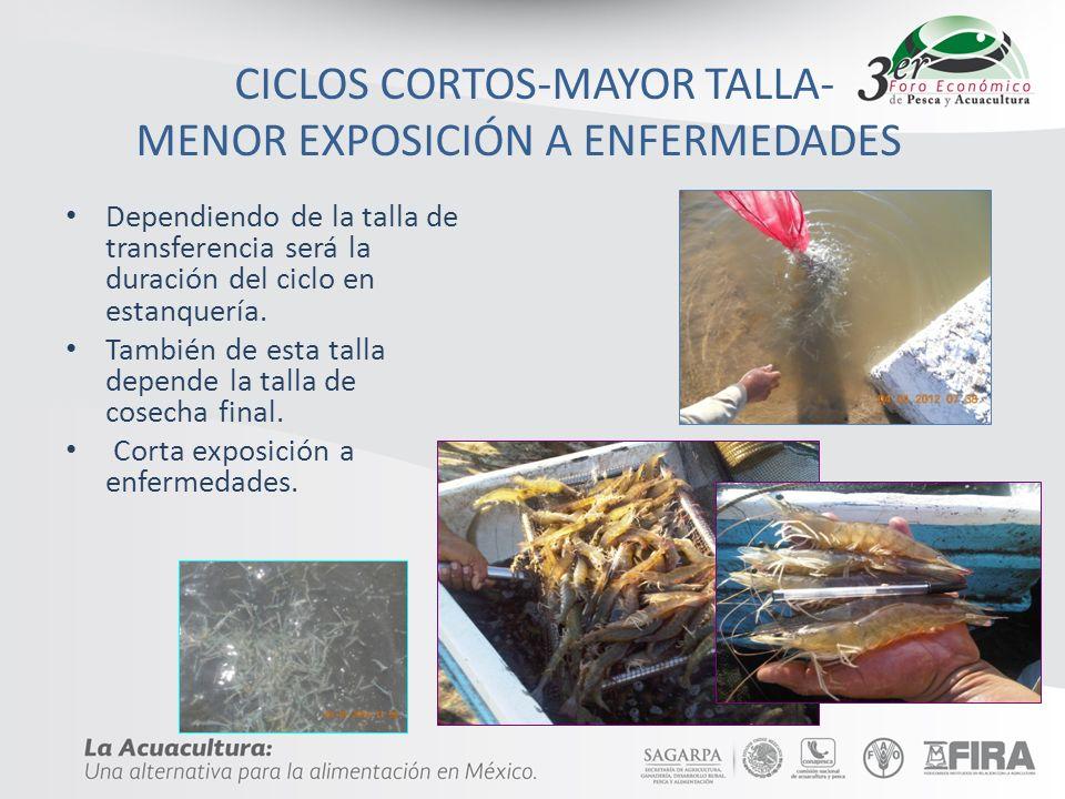 CICLOS CORTOS-MAYOR TALLA- MENOR EXPOSICIÓN A ENFERMEDADES