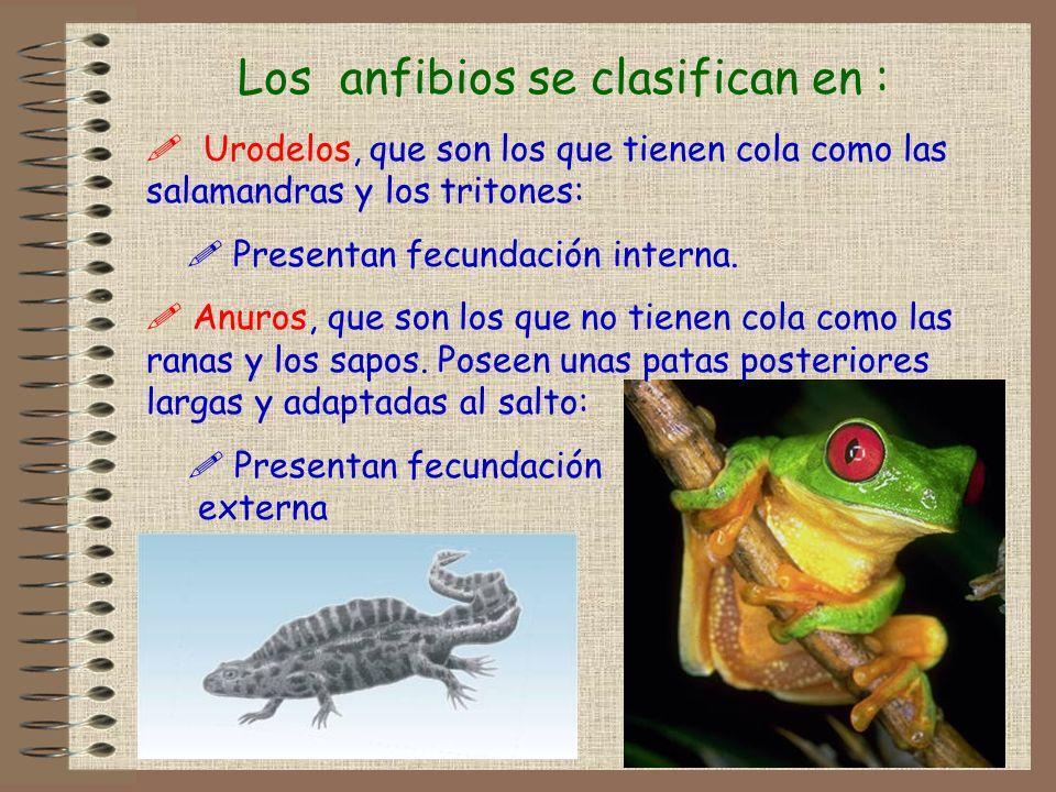Los anfibios se clasifican en :