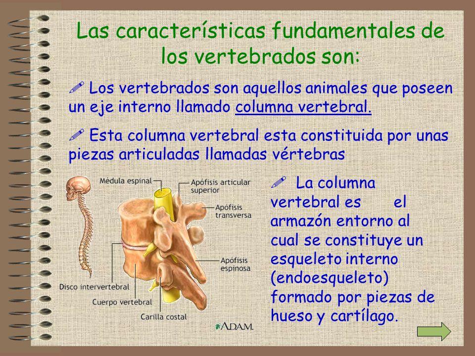 Las características fundamentales de los vertebrados son: