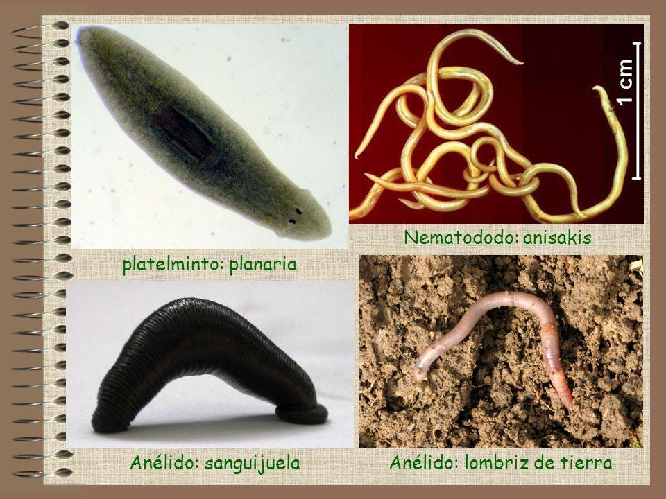 Anélido: lombriz de tierra