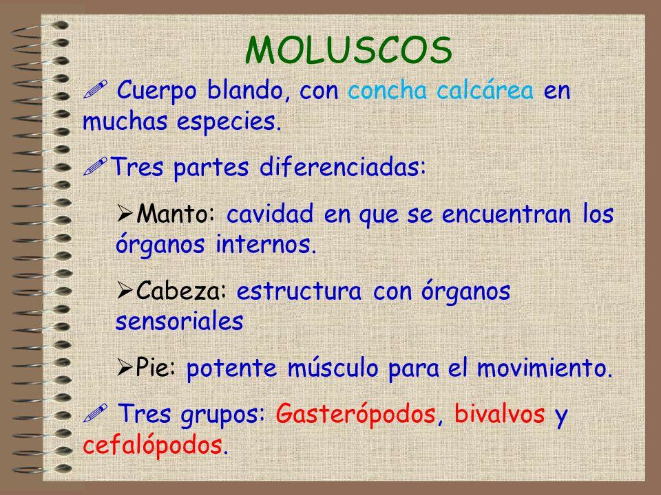 MOLUSCOS Cuerpo blando, con concha calcárea en muchas especies.