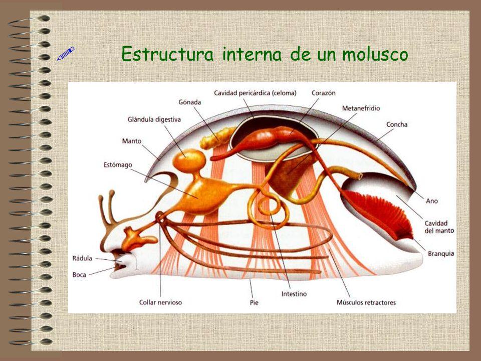Estructura interna de un molusco