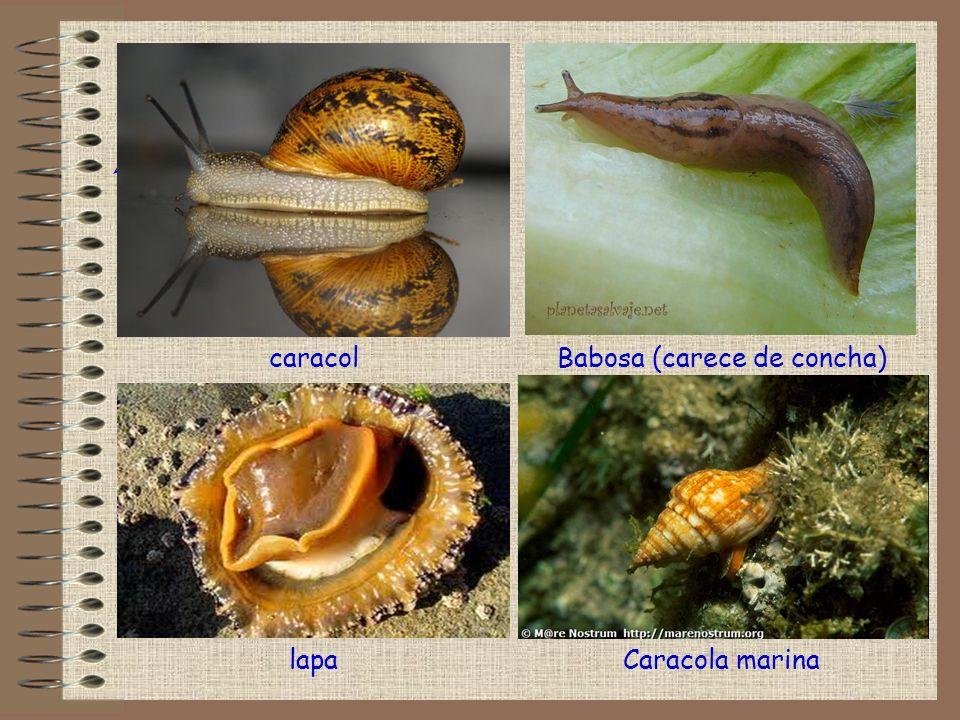 Babosa (carece de concha)