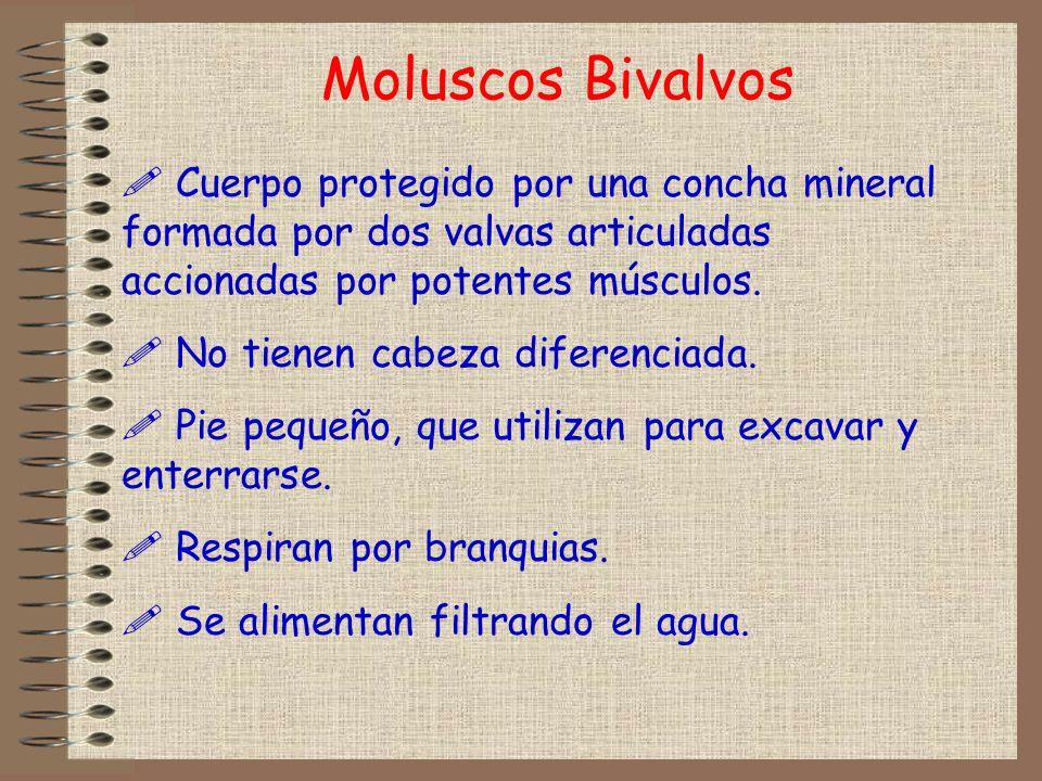 Moluscos BivalvosCuerpo protegido por una concha mineral formada por dos valvas articuladas accionadas por potentes músculos.