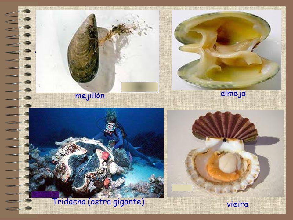 Tridacna (ostra gigante)