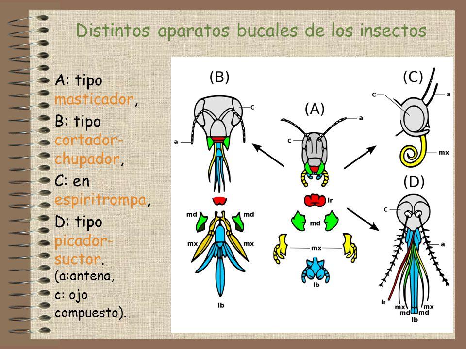 Distintos aparatos bucales de los insectos
