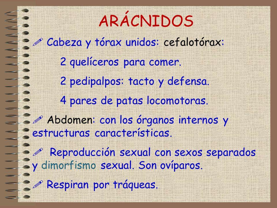 ARÁCNIDOS Cabeza y tórax unidos: cefalotórax: 2 quelíceros para comer.