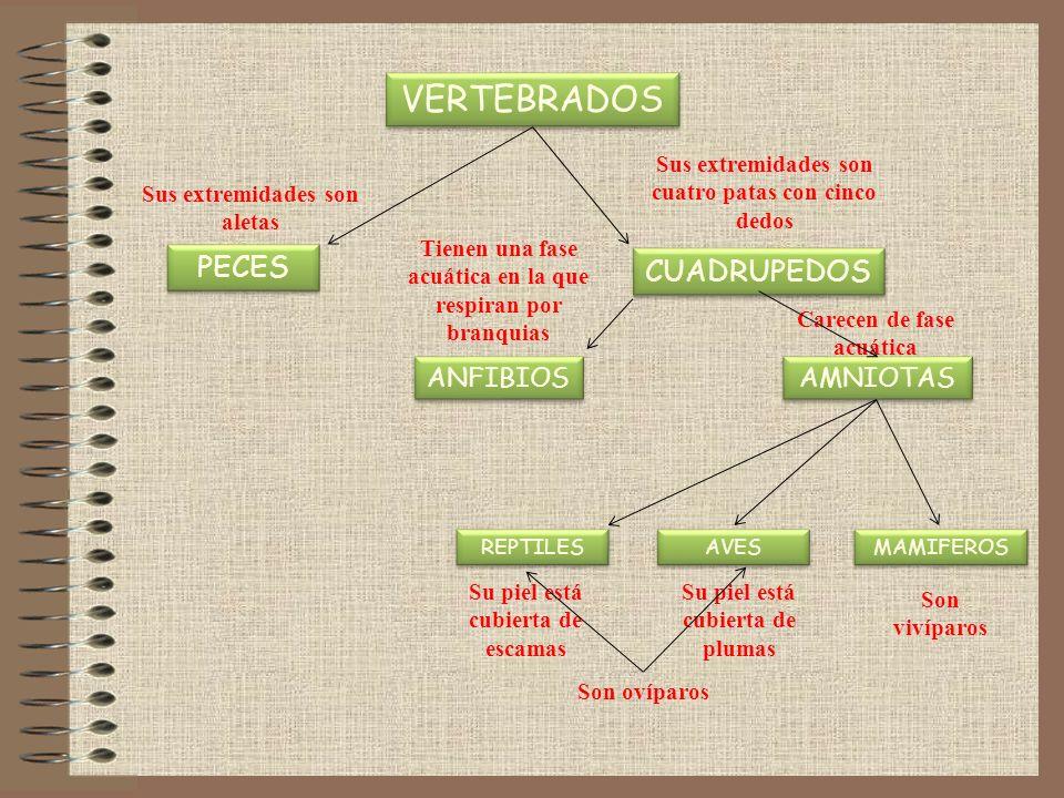 VERTEBRADOS PECES CUADRUPEDOS ANFIBIOS AMNIOTAS