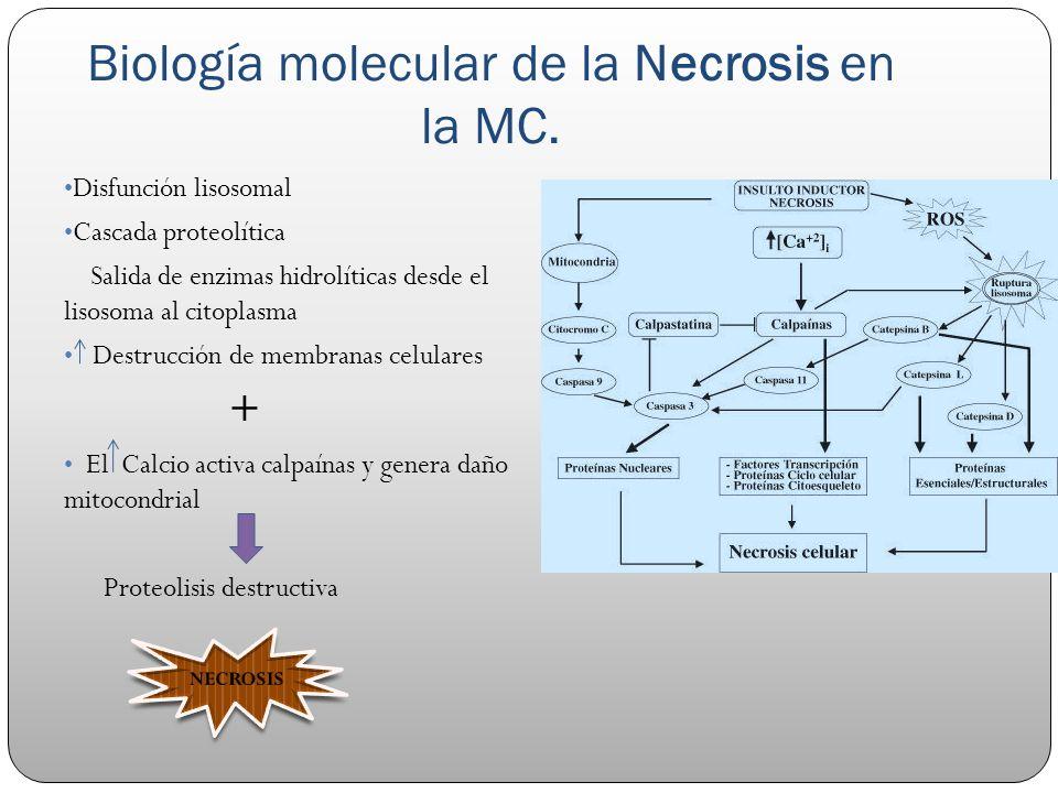 Biología molecular de la Necrosis en la MC.