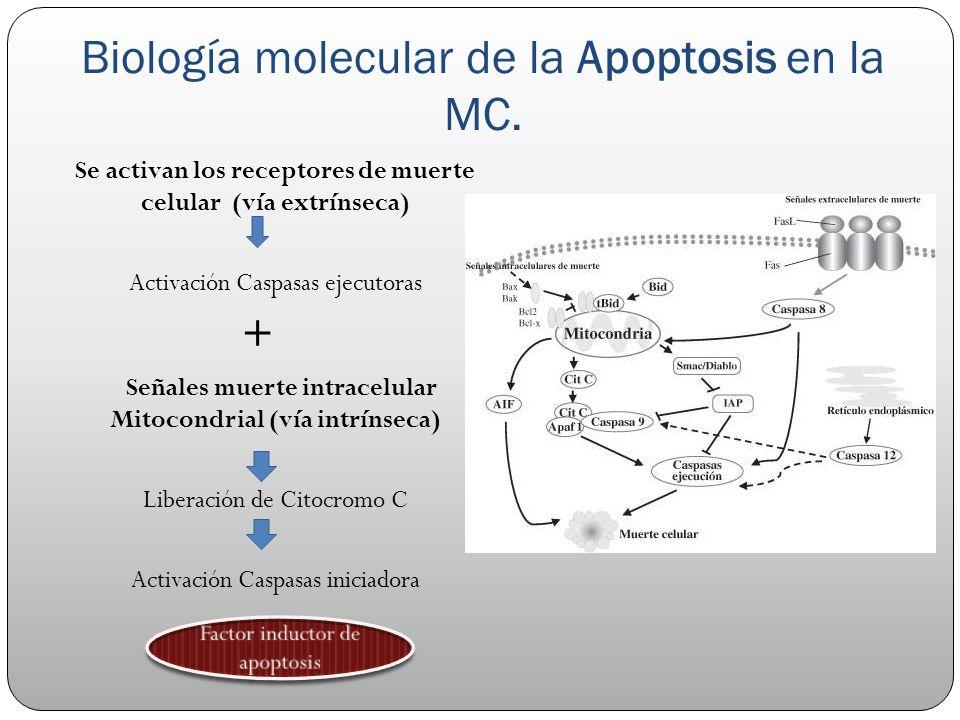 Biología molecular de la Apoptosis en la MC.