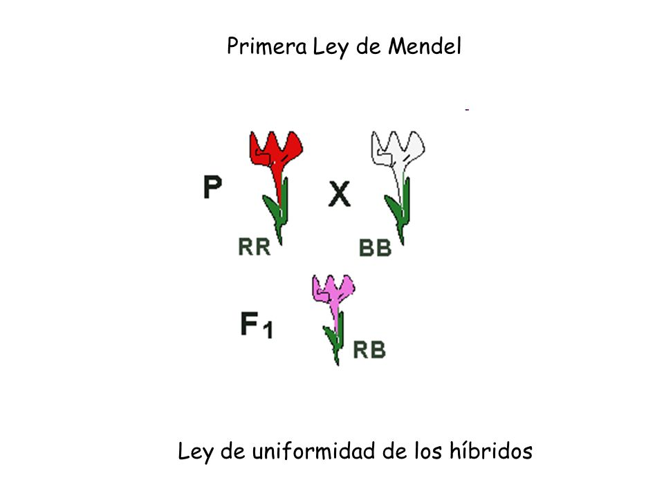 Ley de uniformidad de los híbridos