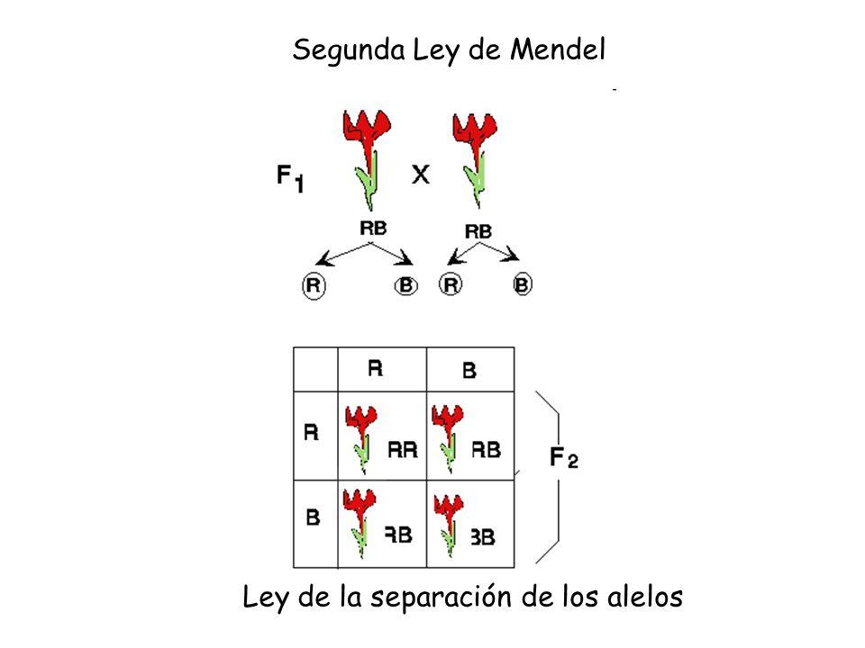 Ley de la separación de los alelos