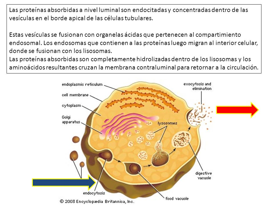 Las proteínas absorbidas a nivel luminal son endocitadas y concentradas dentro de las vesículas en el borde apical de las células tubulares.
