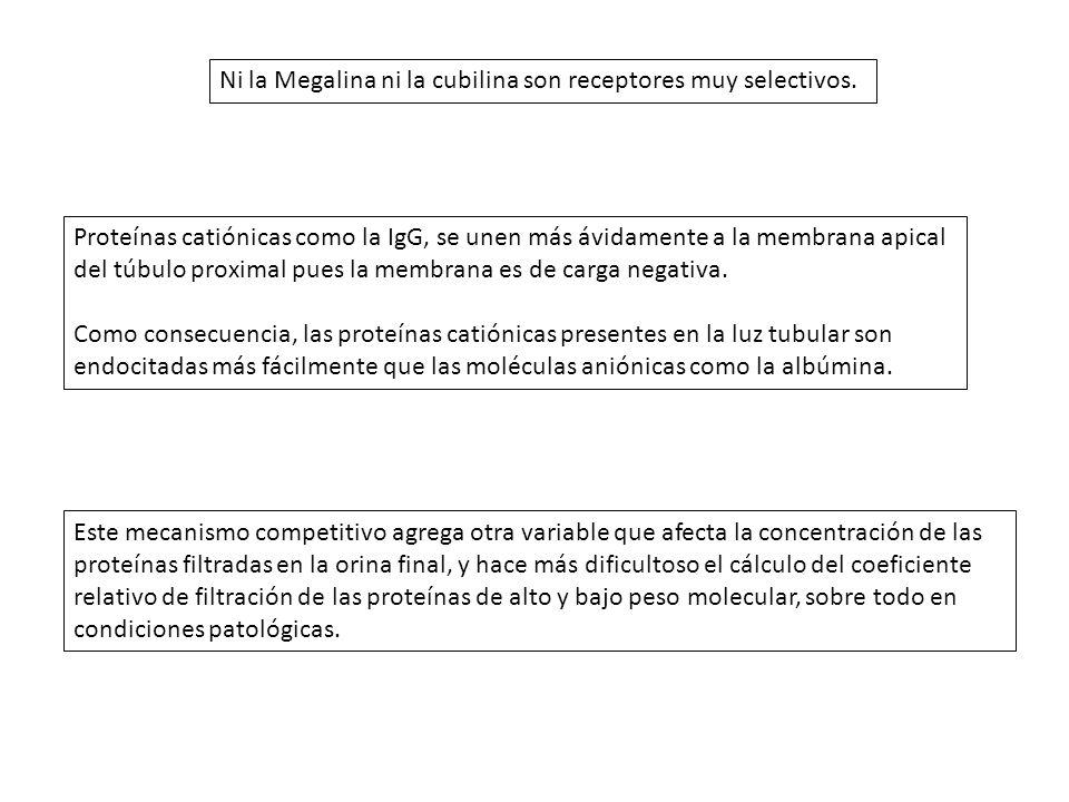 Ni la Megalina ni la cubilina son receptores muy selectivos.