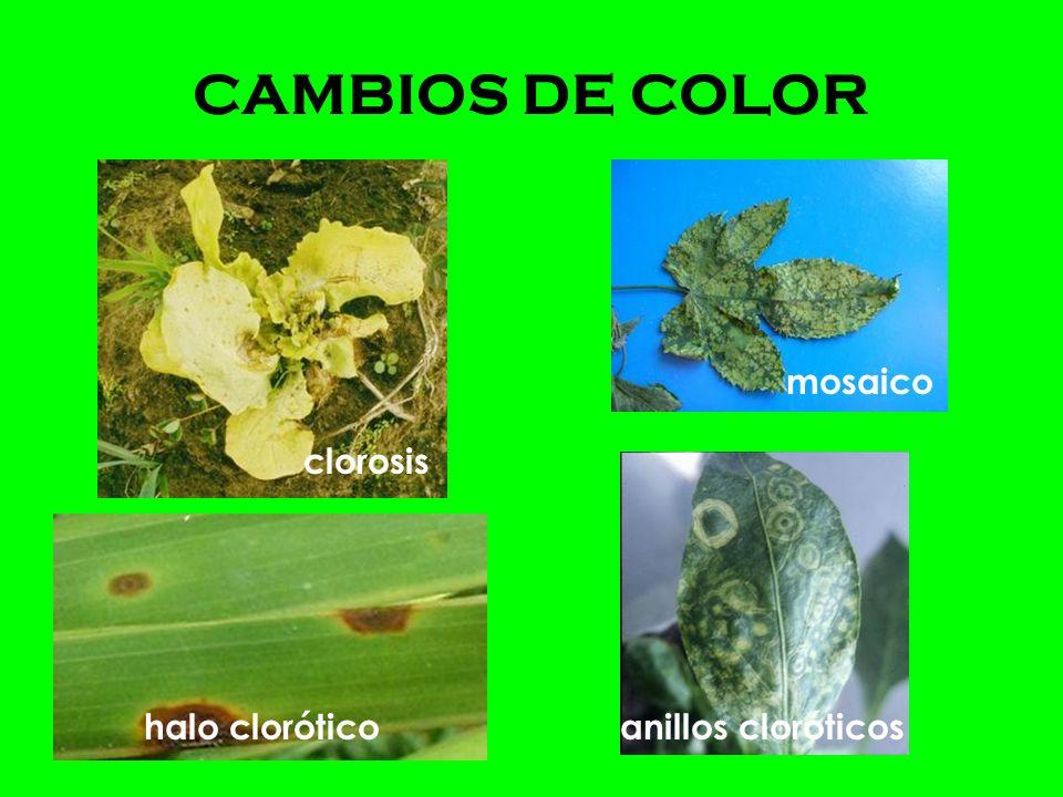 CAMBIOS DE COLOR mosaico clorosis halo clorótico anillos cloróticos