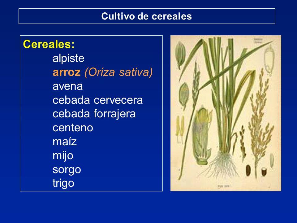 Cereales: alpiste arroz (Oriza sativa) avena cebada cervecera