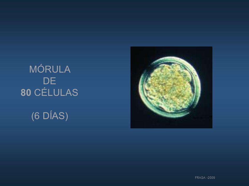 MÓRULA DE 80 CÉLULAS (6 DÍAS) FRAGA -2009 11