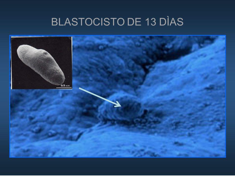 BLASTOCISTO DE 13 DÌAS 18