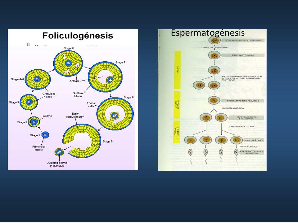 Espermatogénesis 2