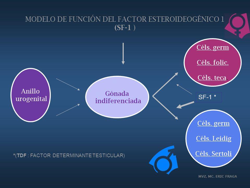 MODELO DE FUNCIÓN DEL FACTOR ESTEROIDEOGÉNICO 1 (SF-1 )