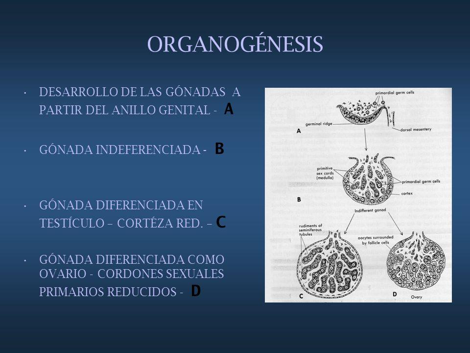 ORGANOGÉNESIS DESARROLLO DE LAS GÓNADAS A PARTIR DEL ANILLO GENITAL - A. GÓNADA INDEFERENCIADA - B.