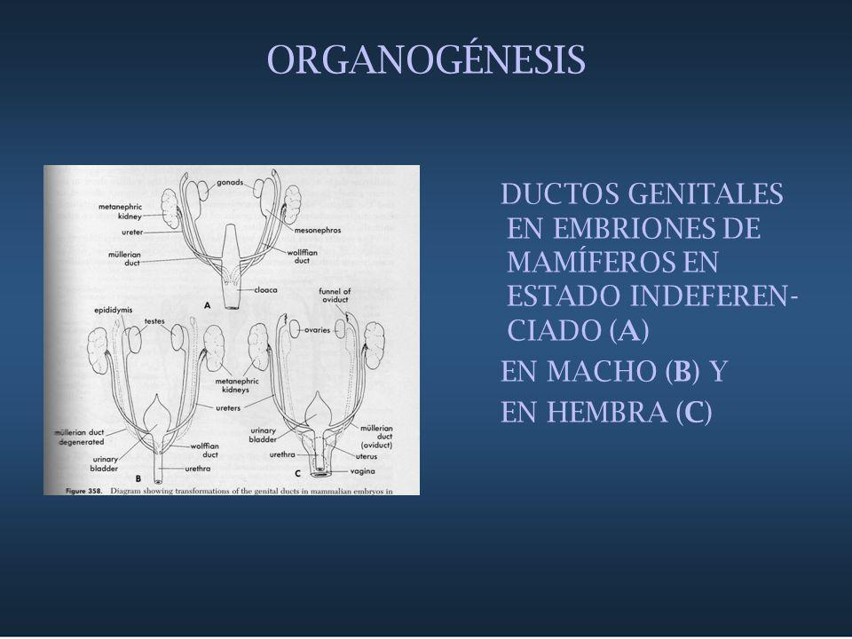 ORGANOGÉNESIS DUCTOS GENITALES EN EMBRIONES DE MAMÍFEROS EN ESTADO INDEFEREN-CIADO (A) EN MACHO (B) Y.