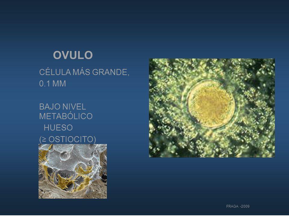 OVULO CÉLULA MÁS GRANDE, 0.1 MM BAJO NIVEL METABÓLICO HUESO