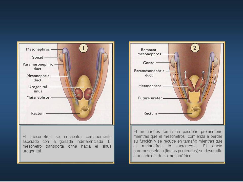 El mesonefros se encuentra cercanamente asociado con la gónada indeferenciada. El mesonefro transporta orina hacia el sinus urogenital .