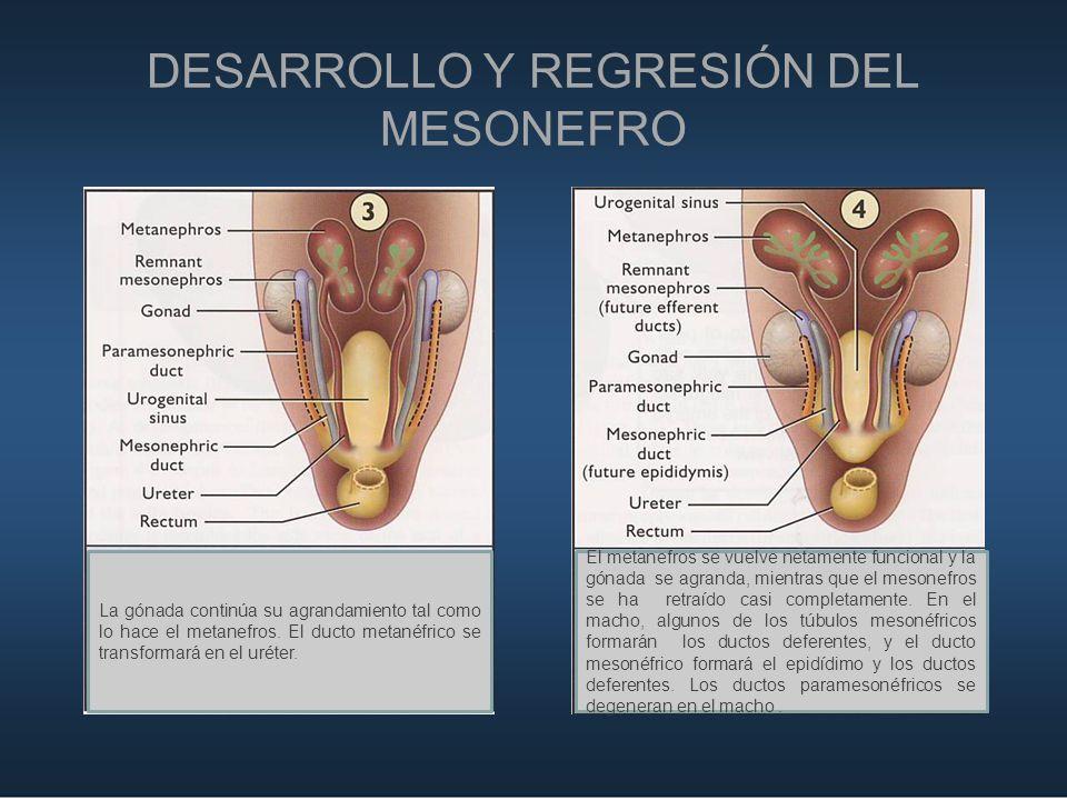 DESARROLLO Y REGRESIÓN DEL MESONEFRO