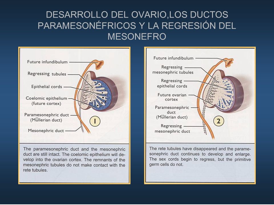 DESARROLLO DEL OVARIO,LOS DUCTOS PARAMESONÉFRICOS Y LA REGRESIÓN DEL MESONEFRO