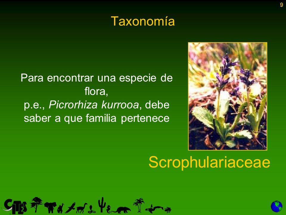 Scrophulariaceae Taxonomía