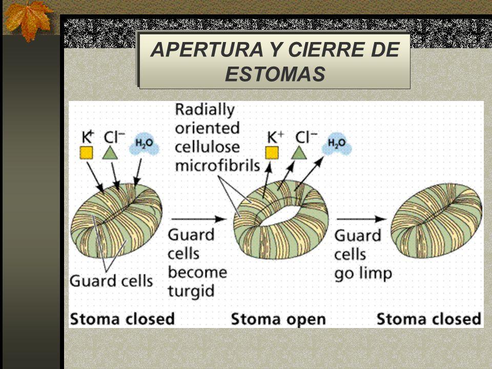 APERTURA Y CIERRE DE ESTOMAS