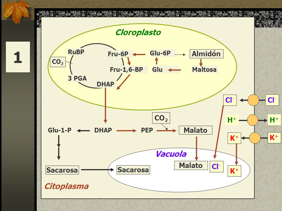 1 Cloroplasto Vacuola Citoplasma Almidón Cl- Cl- CO2 H+ H+ Malato K+