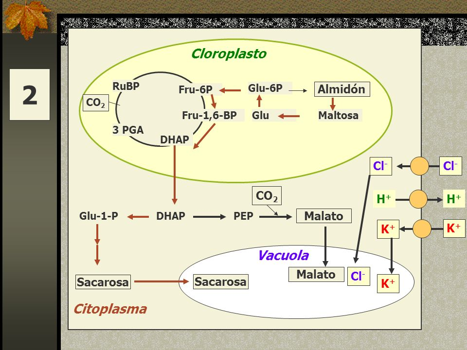 2 Cloroplasto Vacuola Citoplasma Almidón Cl- Cl- CO2 H+ H+ Malato K+