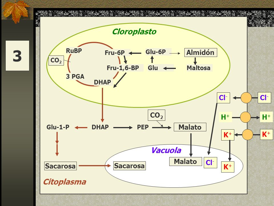 3 Cloroplasto Vacuola Citoplasma Almidón Cl- Cl- CO2 H+ H+ Malato K+
