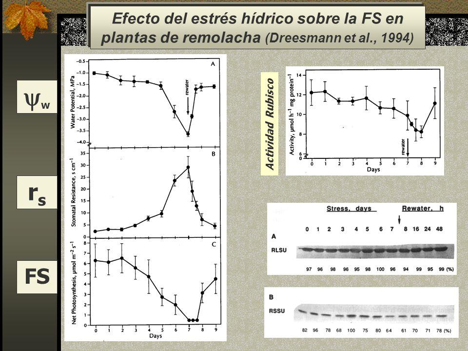 w rs FS Efecto del estrés hídrico sobre la FS en