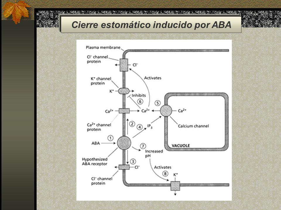 Cierre estomático inducido por ABA