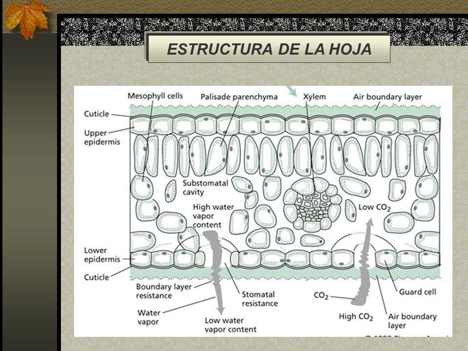 ESTRUCTURA DE LA HOJA