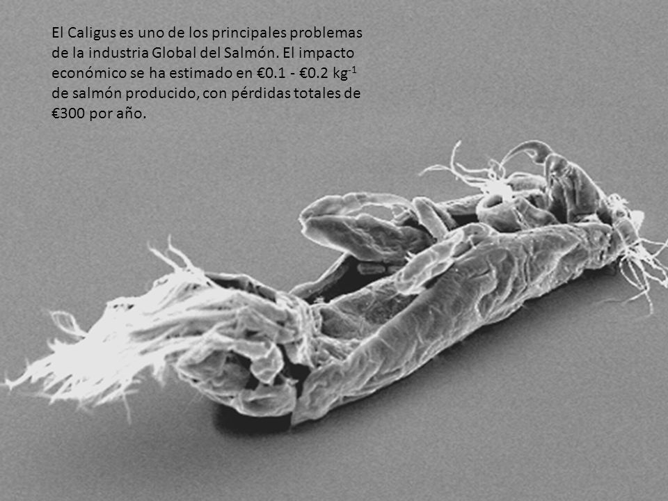El Caligus es uno de los principales problemas de la industria Global del Salmón.
