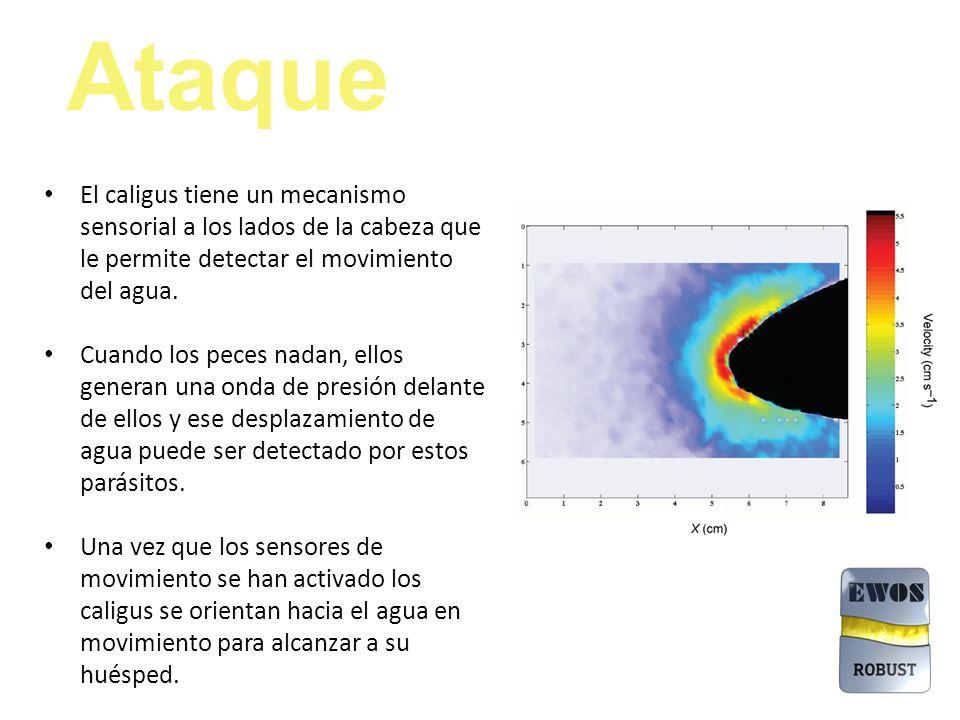 Ataque El caligus tiene un mecanismo sensorial a los lados de la cabeza que le permite detectar el movimiento del agua.
