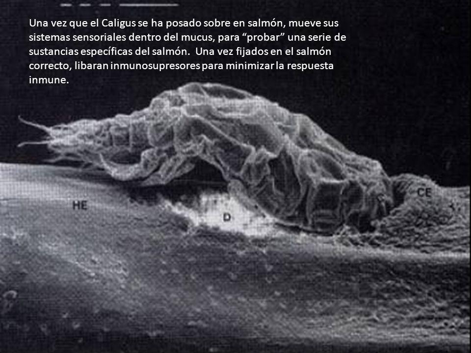 Una vez que el Caligus se ha posado sobre en salmón, mueve sus sistemas sensoriales dentro del mucus, para probar una serie de sustancias específicas del salmón.